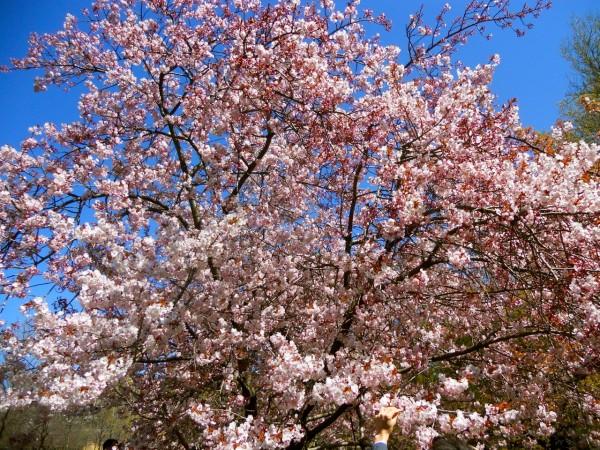 Cherry Blossoms: Brooklyn Botanic Garden