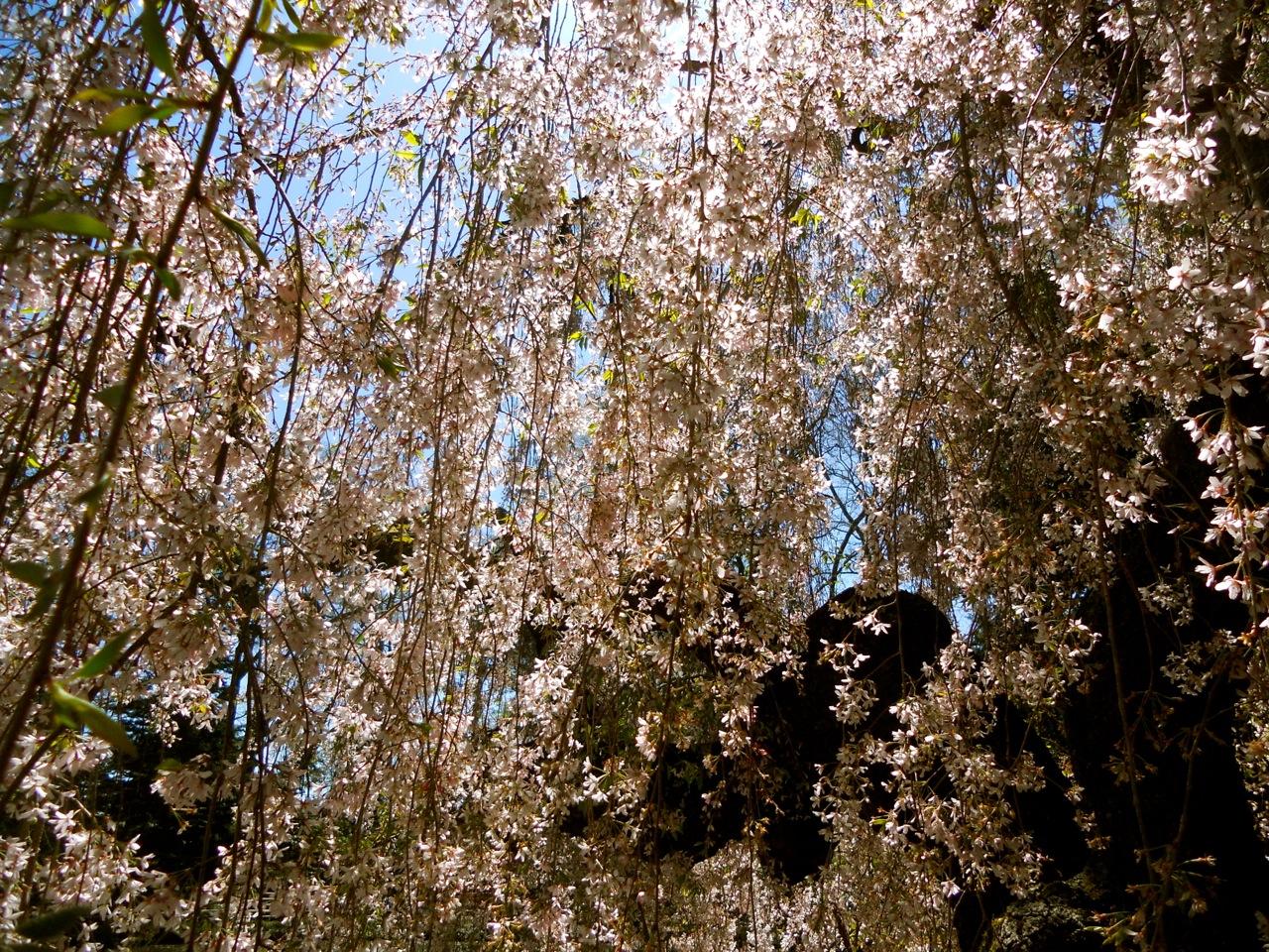 Cherry Blossoms Brooklyn Botanic Garden Walks Of New York