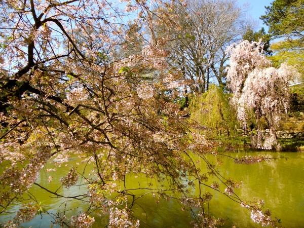 Flores de cerezo: jardín botánico de Brooklyn