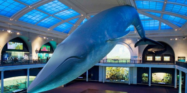 Blue Whale, Museum of Natural History